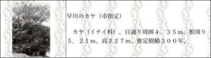早川のカヤ